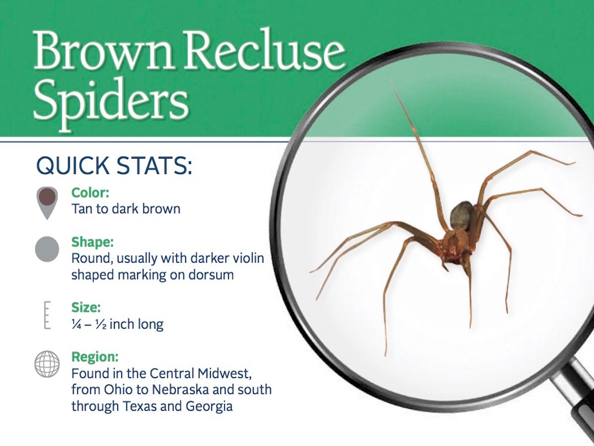 https://0201.nccdn.net/1_2/000/000/127/7ba/brown-recluse-spider-pest-id-card_front.jpg