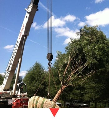 Crane for Tree Relocation