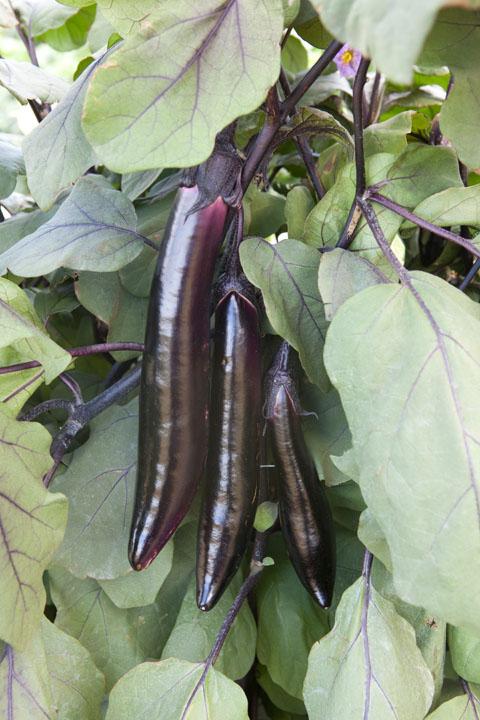 Eggplant Shikou F1