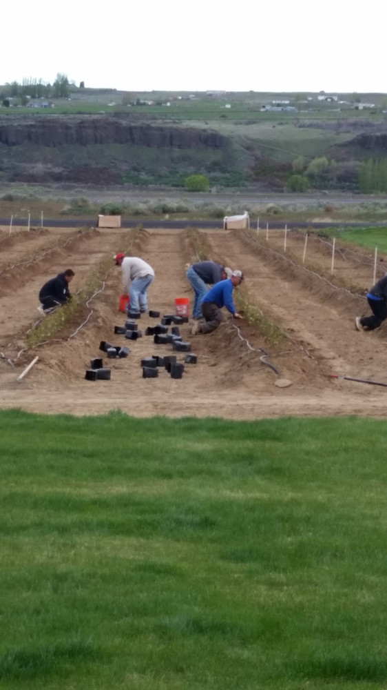 Planting Blueberry Bushes 2015