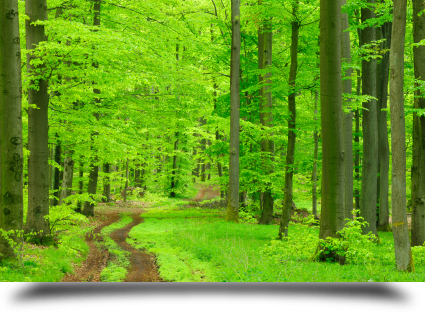 Árboles forestales naturaleza||||