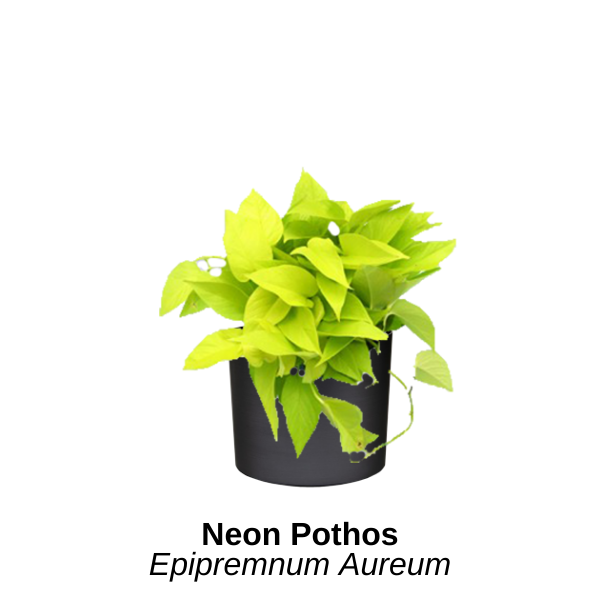 https://0201.nccdn.net/1_2/000/000/12d/d14/neon-pothos--1-.png