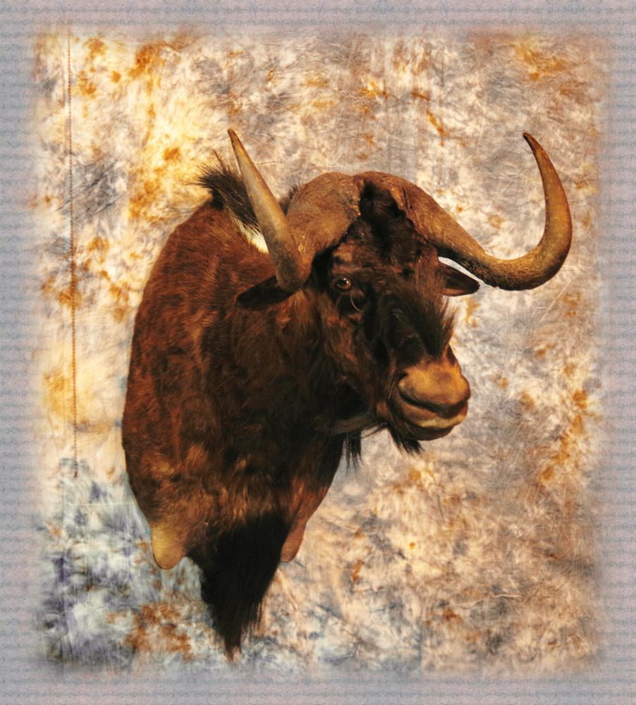 black-wildebeest