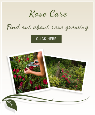 Clicking here will open a new window with information courtesy of Select Roses nursery.