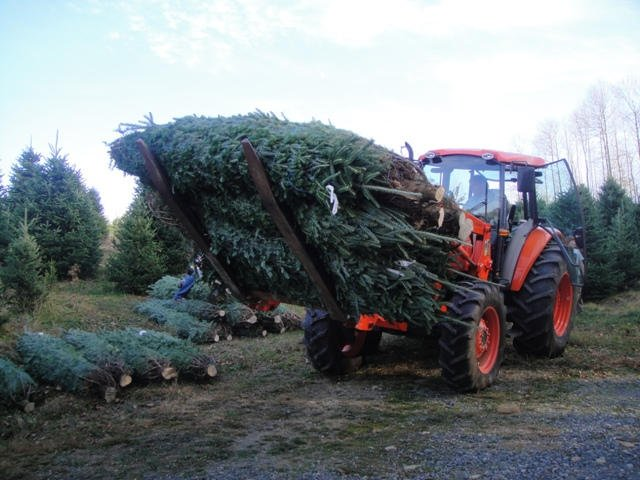 Carrying a load of larger 9-10 foot trees to be loaded.