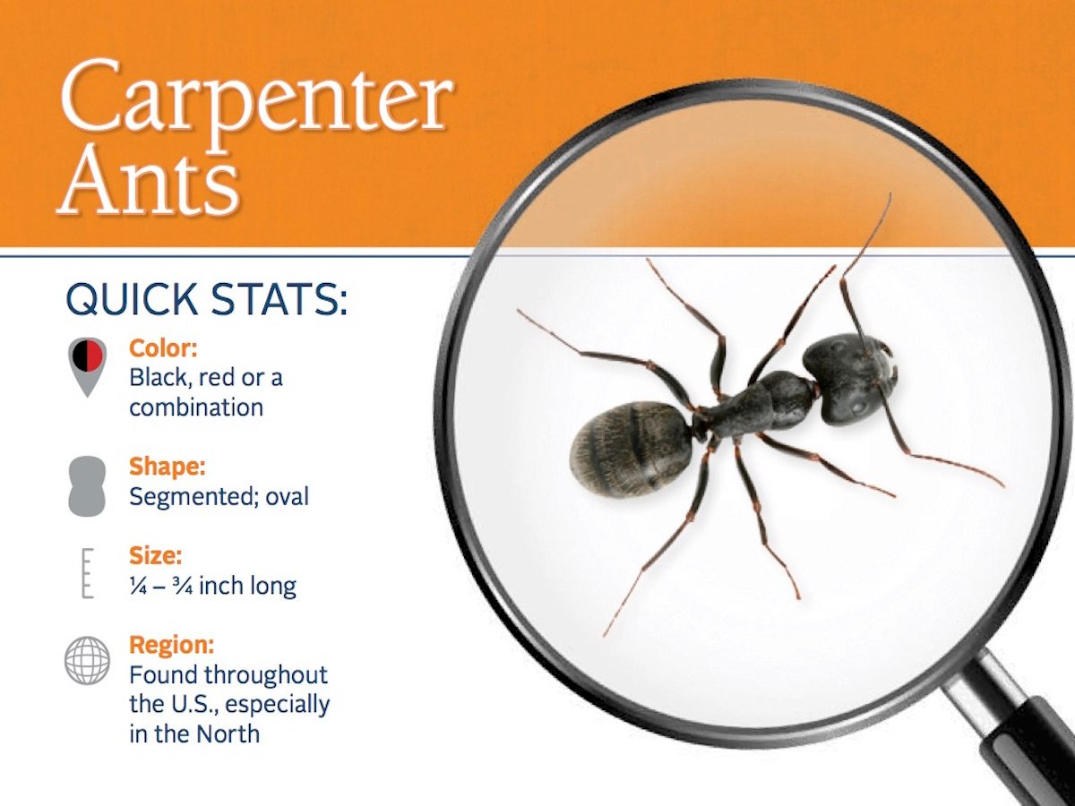 https://0201.nccdn.net/1_2/000/000/133/129/carpenter-ant-pest-id-card_front.jpg