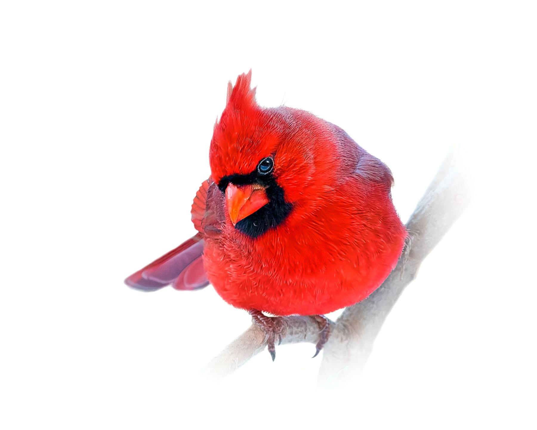 Northern Cardinal 7