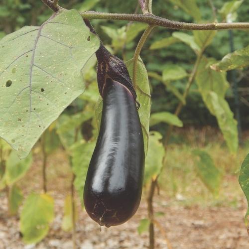Eggplant Shikou