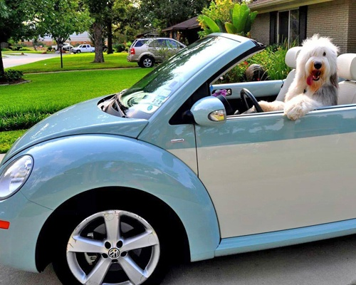 White Dog Driving a Car