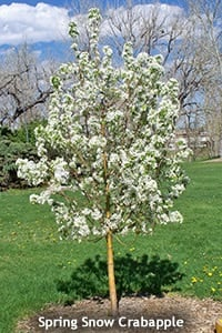 White Flowering Crabapple