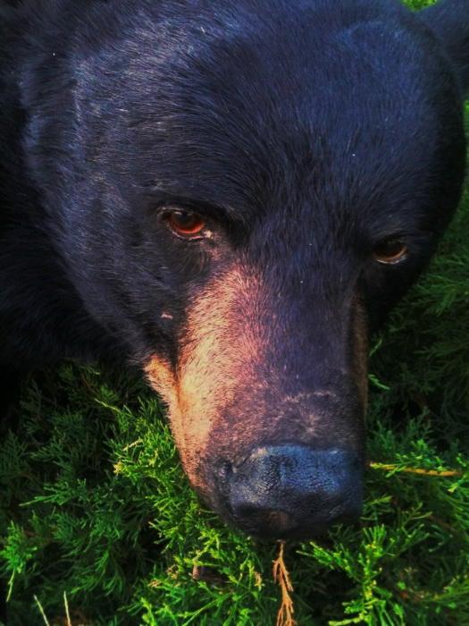this-bear-killed-the-hunters-dog