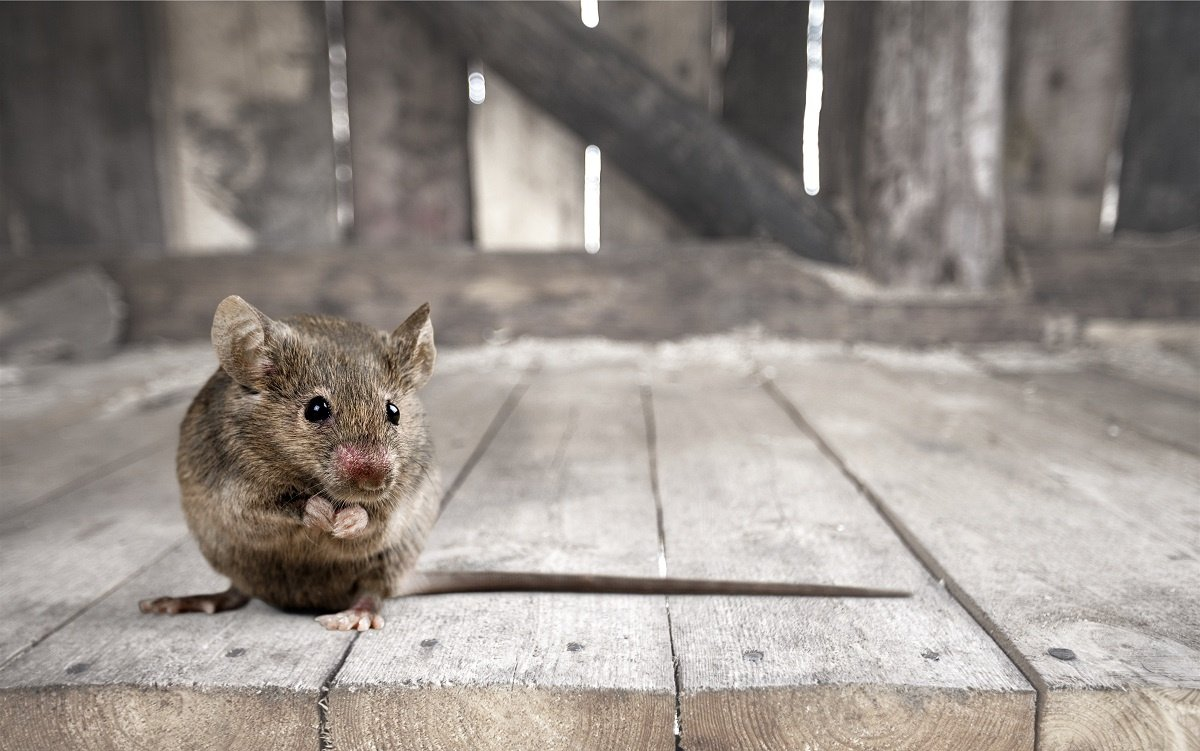 Pest Control in Middletown Ny by Garrie Pest control Cute Mouse