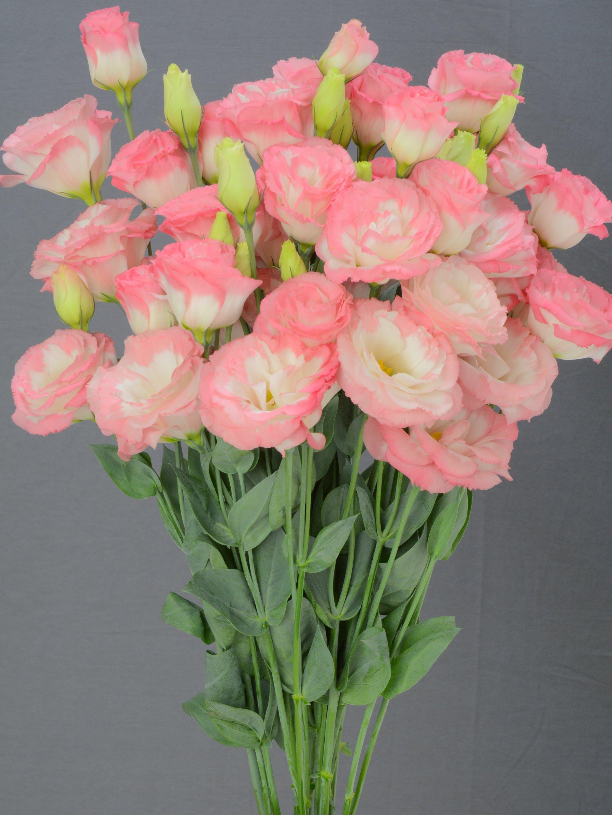 Lisianthus, largo Pink Picotee