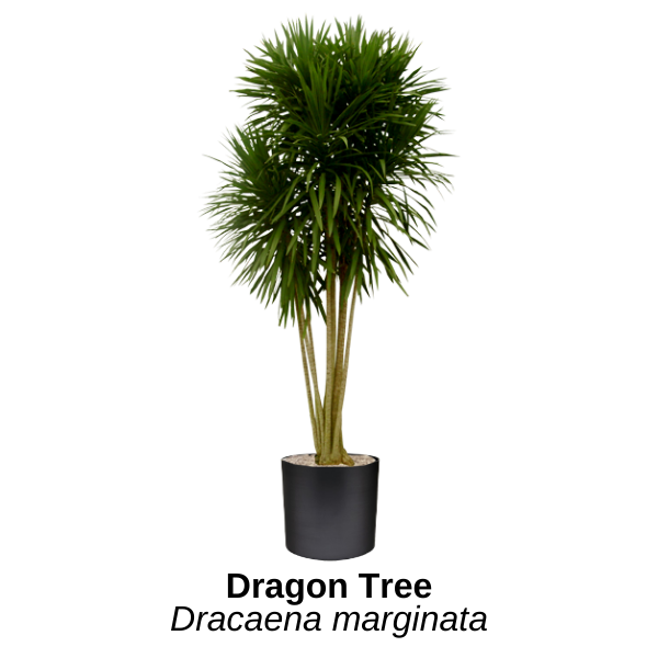 https://0201.nccdn.net/1_2/000/000/13e/15f/dragon-tree.png