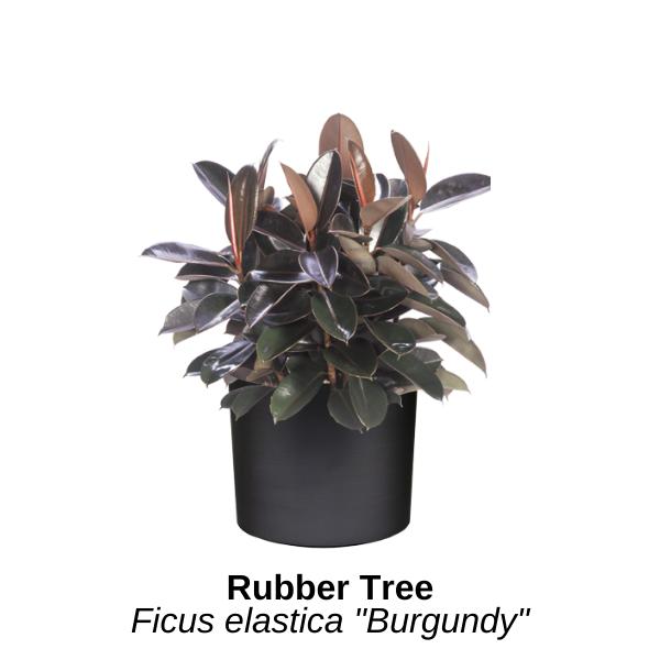 https://0201.nccdn.net/1_2/000/000/13e/632/rubber-tree.png