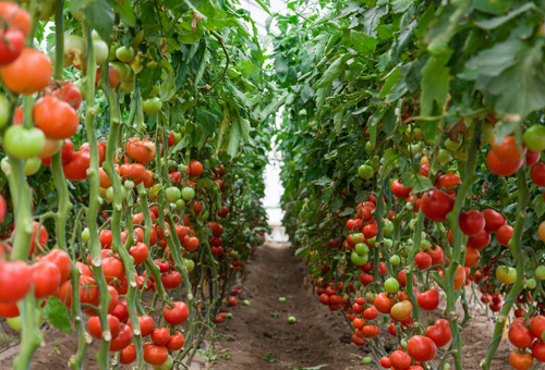 Tomatoes Ripening In a Greenhouse