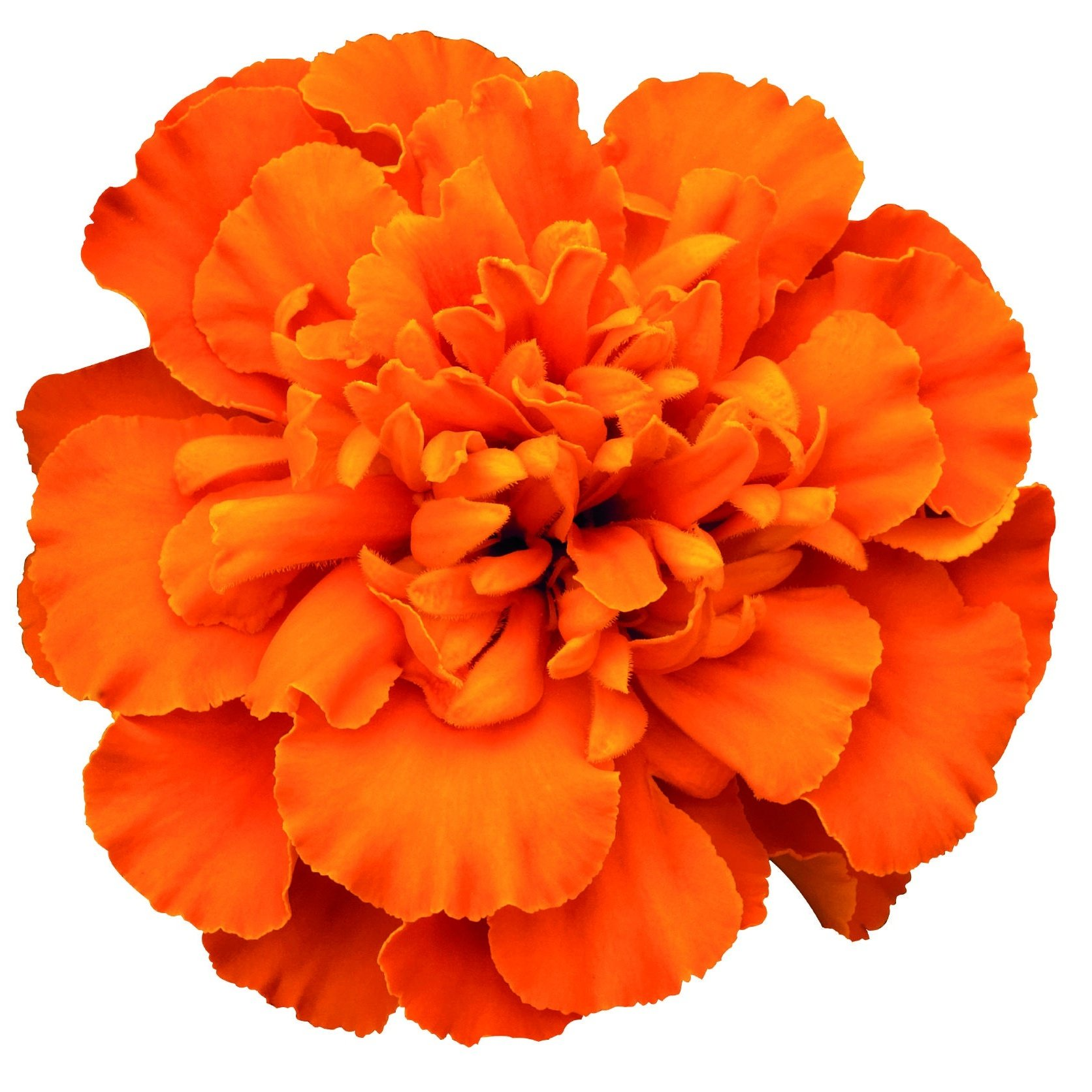 Marigold French, Super Hero™ Deep Orange