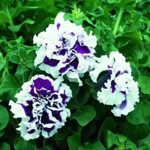 Pirouette Purple