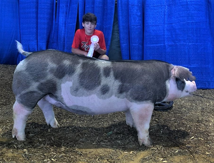 Judd Crownover 2021 Tennessee State Fair Reserve Champion Spot Gilt