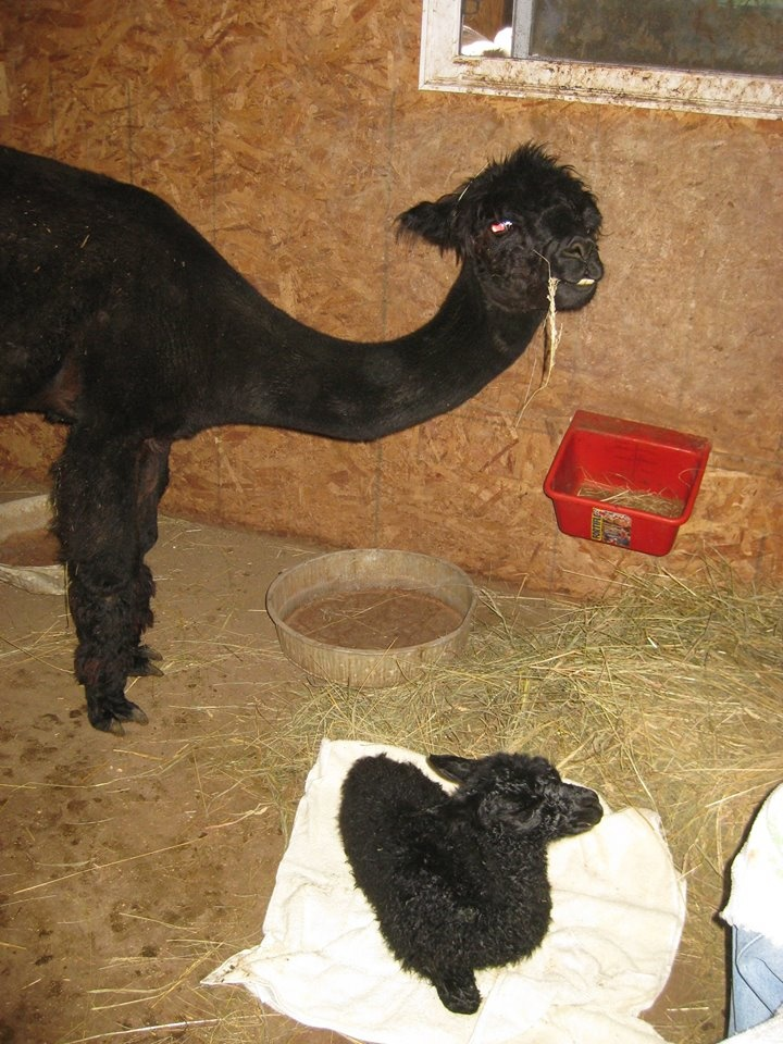 Two Black Alpacas
