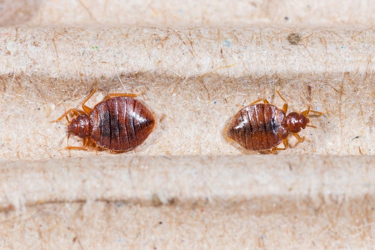 exterminators guide exterminator tips extermination bugs bedbugs bed bug