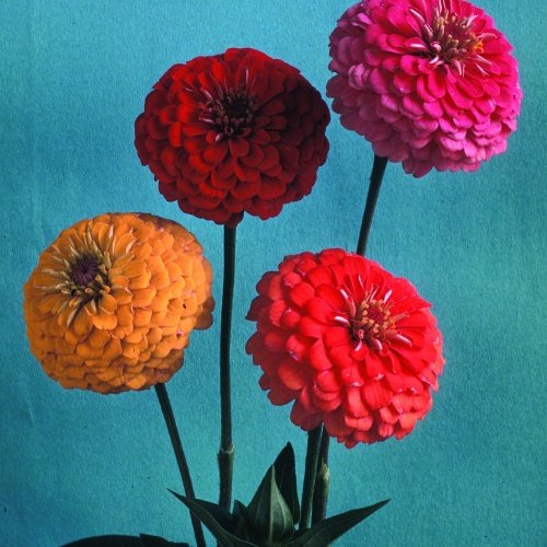 Zinnia Pumilla Cut & Come Again