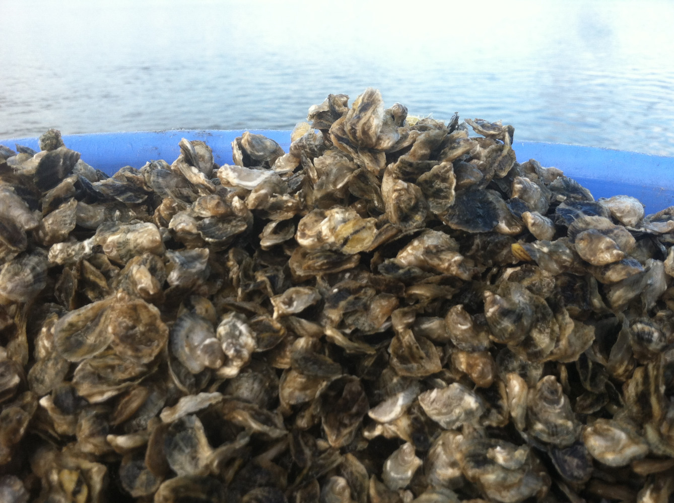 10 YEARS OF OYSTER PRODUCTION FOR  UNIVERSITY / COMMUNITY BASED OYSTER GARDENING RESTORATION