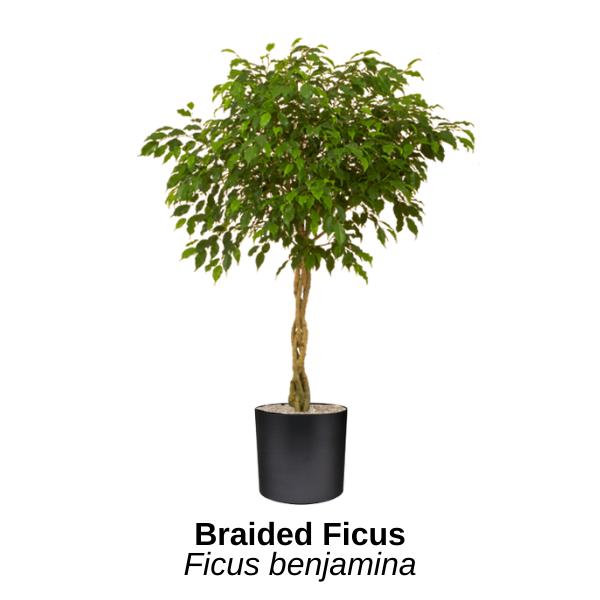 https://0201.nccdn.net/1_2/000/000/143/8cb/braided-ficus.png