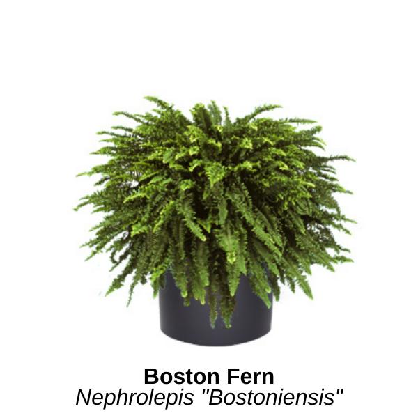 https://0201.nccdn.net/1_2/000/000/144/fd5/boston-fern.png