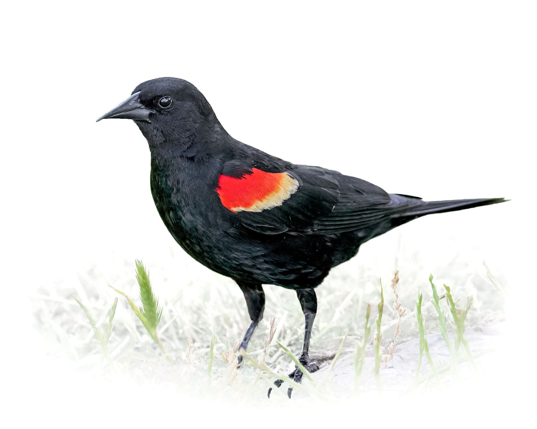 Red-winged Blackbird 6