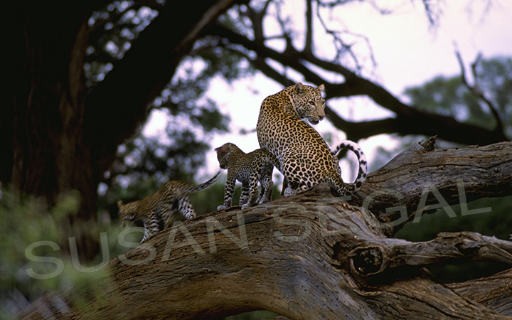 Mother & Baby Leopards - Kenya