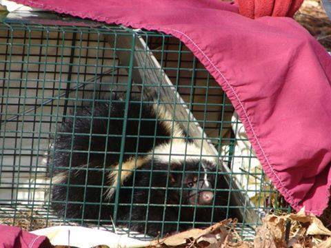Skunk Control Company In The State Of Ohio. Professional Wildlife Removal Business Located In Ohio.