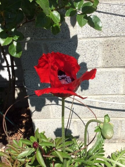 A brilliant red ornamental poppy, also making her presence known in Evelyn's garden.