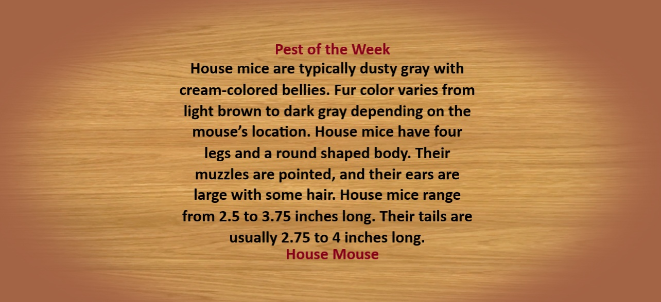 https://0201.nccdn.net/1_2/000/000/14b/7c6/House-Mouse-Description-1284x588.jpg