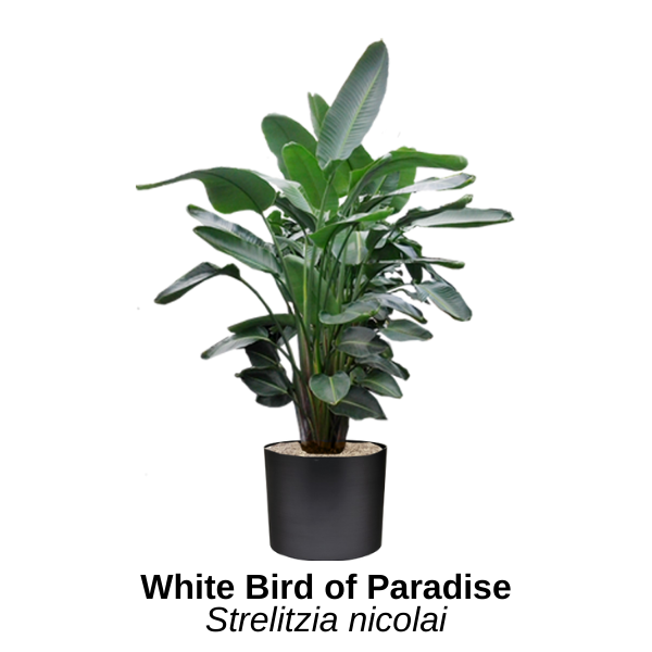 https://0201.nccdn.net/1_2/000/000/14c/527/white-bird-of-paradise.png