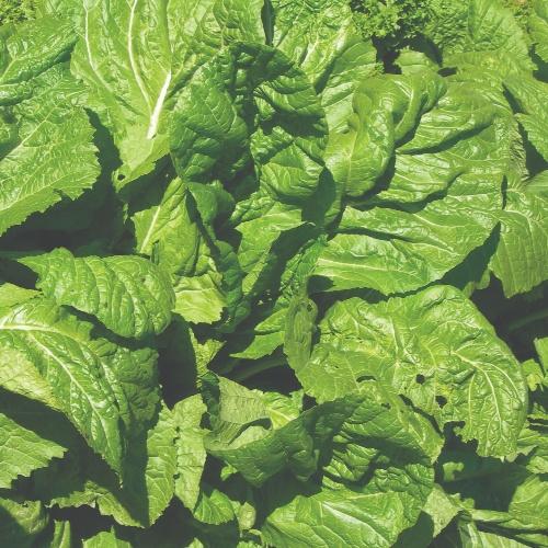 Mustard Florida Broad Leaf (Large Smooth Leaf)
