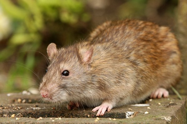 Brown rat in back yard