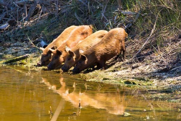 Feral Pigs drinking Water at Merritt Island National Wildlife Refuge