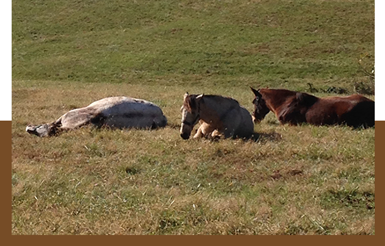 Brown Horses in the Field
