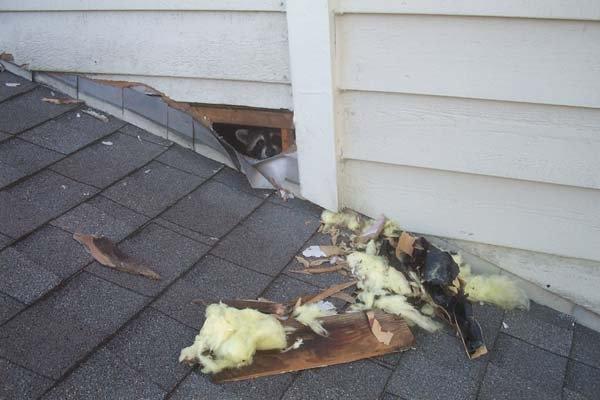 Raccoon Damages