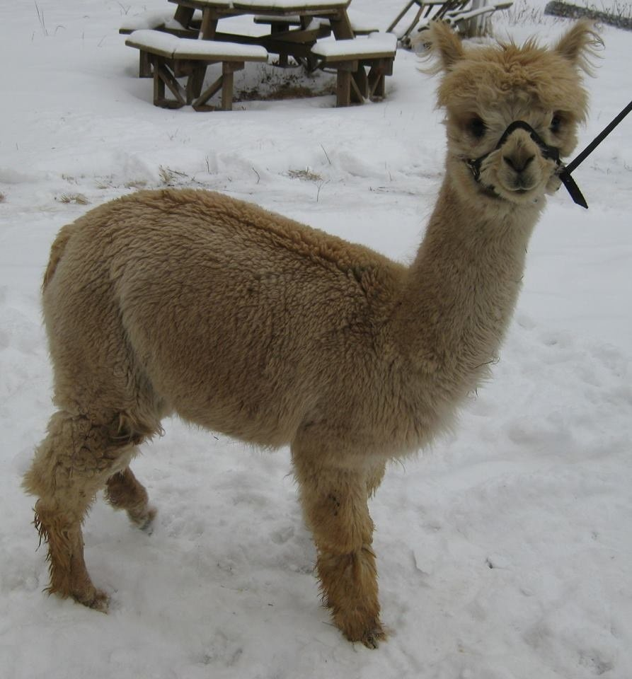 Milky Brown Alpaca