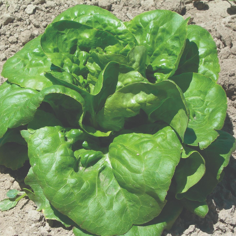 Lettuce Butterhead Type Buttercrunch