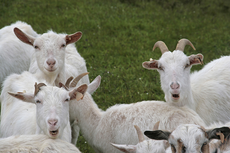 Goat animals agriculture