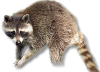Maine Raccoon Control Service