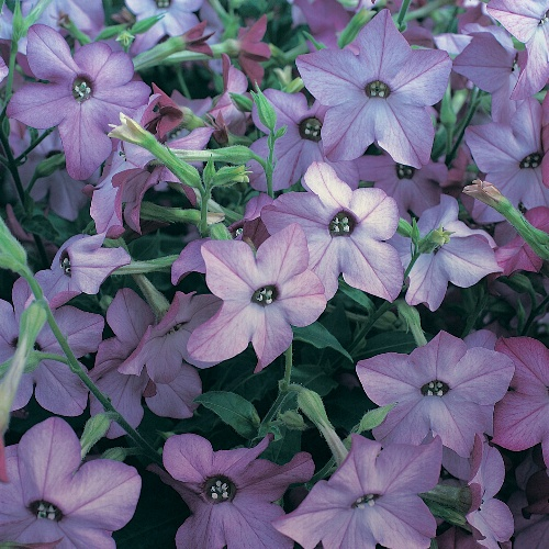 Nicotiana Perfume Deep Purple