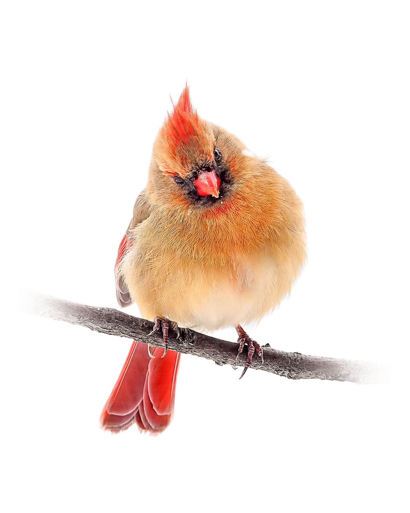 Northern Cardinal female 5