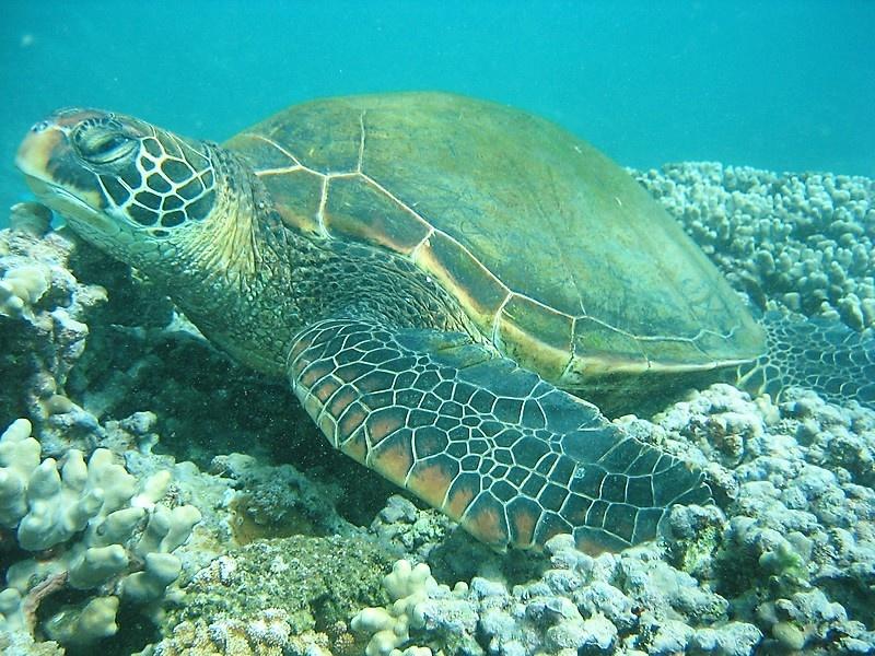 Sea turtle swimming in the bay below the condo