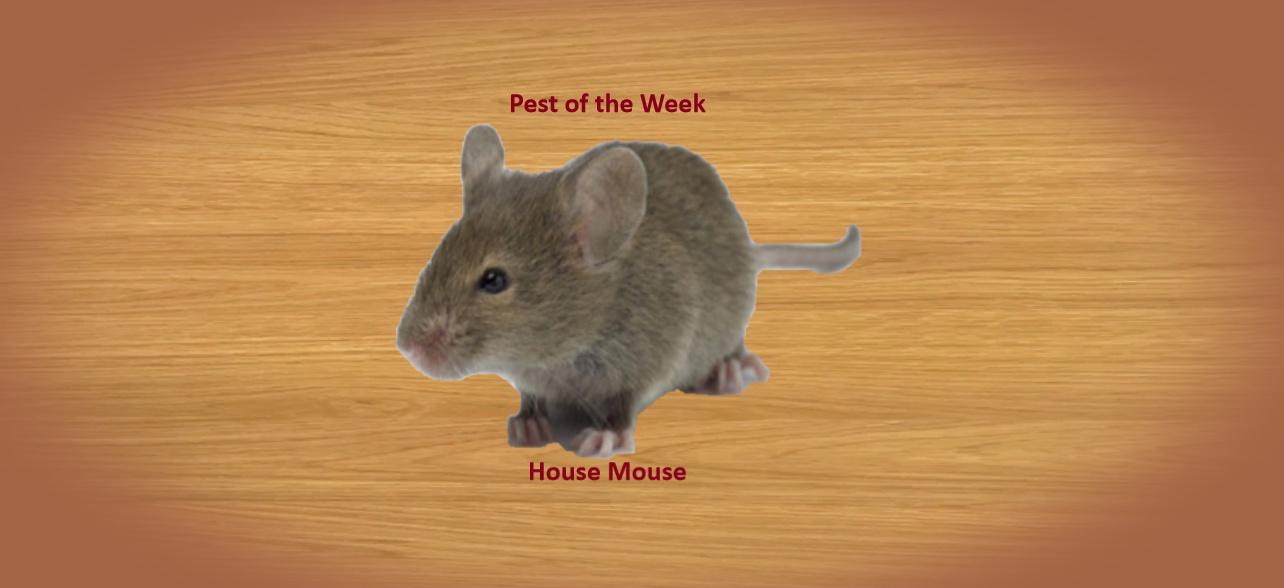 https://0201.nccdn.net/1_2/000/000/154/3d8/House-Mouse-1284x588.jpg