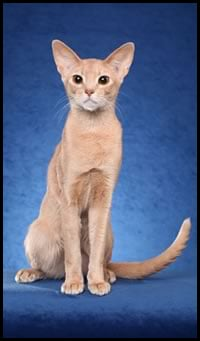 Abyssinian Studs
