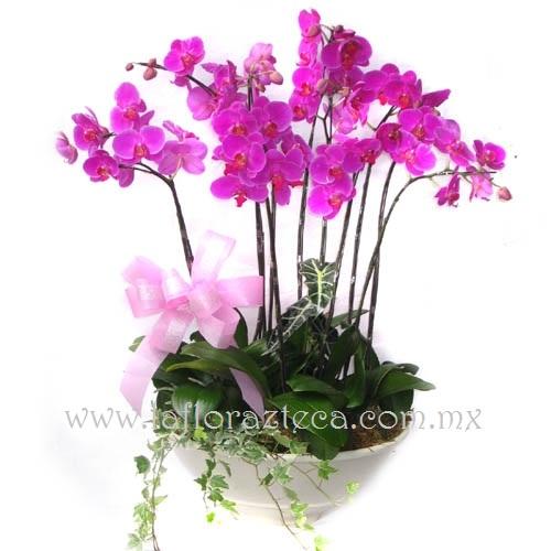 MD - 137  $3,960 Orquídeas phalaenopsis en bella base de cerámica